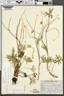 Image of Ranunculus aestivalis