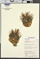 Image of Sclerocactus blainei