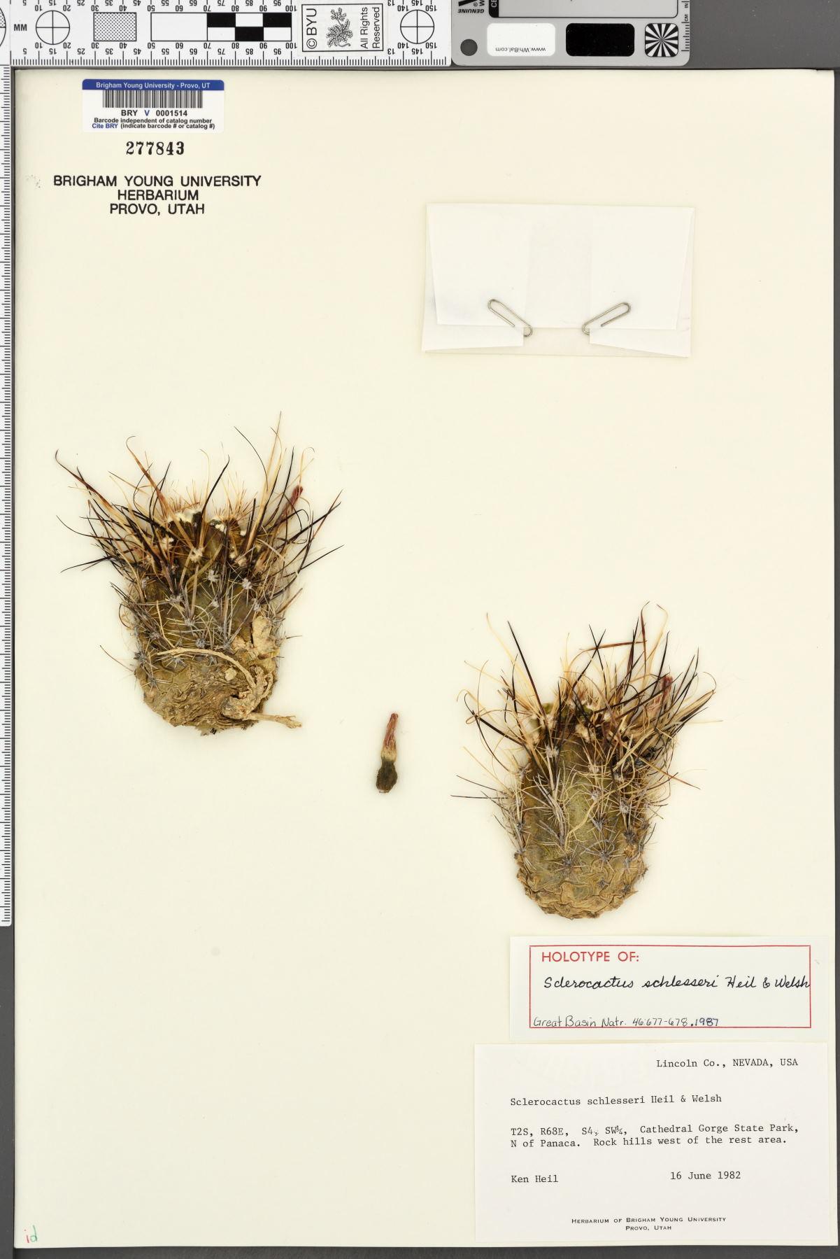 Sclerocactus blainei image
