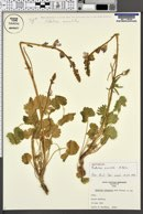 Image of Sidalcea crenulata