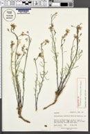 Image of Thelypodiopsis argillacea