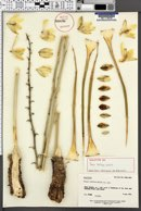 Image of Yucca toftiae