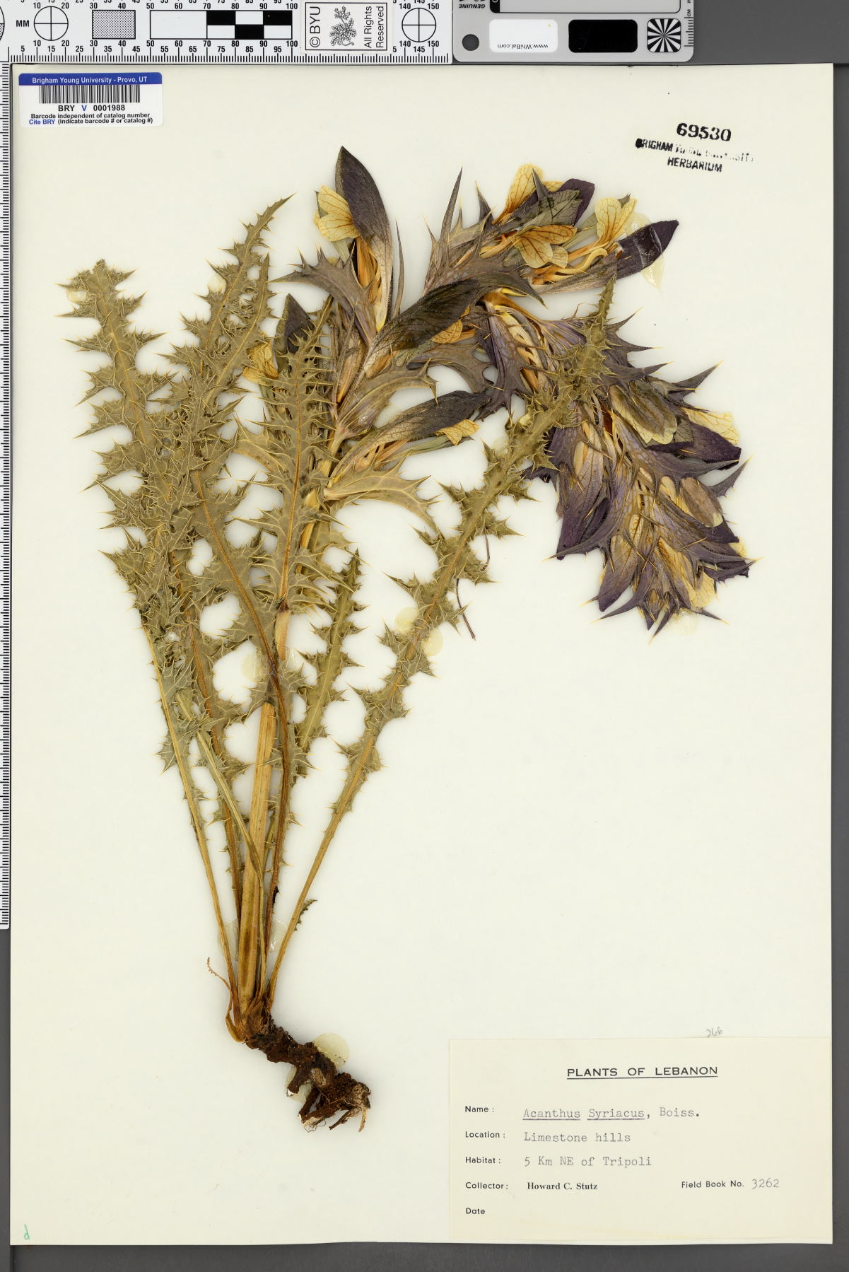 Acanthus syriacus image