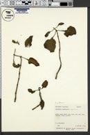 Image of Adenosma caeruleum