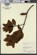 Agathis macrophylla image