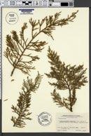 Image of × hesperotropsis leylandii