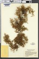 Cupressus arizonica subsp. arizonica image
