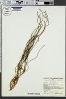 Image of Lycopodium mannii