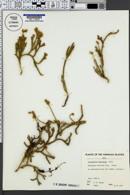 Image of Lycopodium venustulum