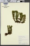 Image of Lycopodium serratum