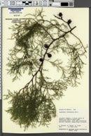 Image of Cupressus lusitanica