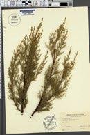 Image of Cupressus macnabiana