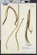 Image of Lycopodium laterale