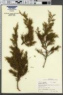 Image of Juniperus ashei