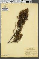 Juniperus ashei image