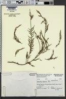 Image of Cupressus funebris