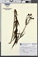 Alstroemeria isabellana image