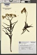 Image of Eupatorium bupleurifolium