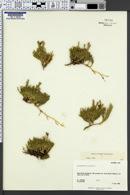 Lycopodium alpinum image
