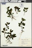 Lepidagathis alopecuroidea image