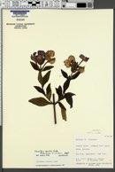 Image of Achetaria azurea