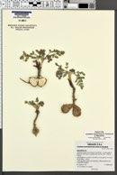 Image of Lomatium bentonitum