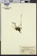 Image of Selaginella selaginoides