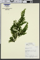 Image of Selaginella arbuscula