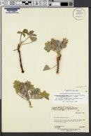 Pediomelum megalanthum var. epipsilum image