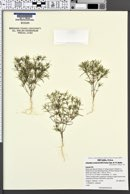 Image of Linanthus arenicola