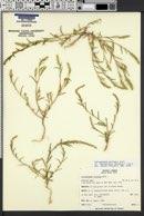 Corispermum pallasii image