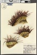 Ferocactus cylindraceus image
