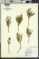 Nitrophila occidentalis image