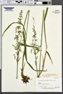 Image of Arctagrostis latifolia