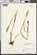 Arctagrostis poaeoides image