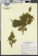 Juniperus occidentalis image