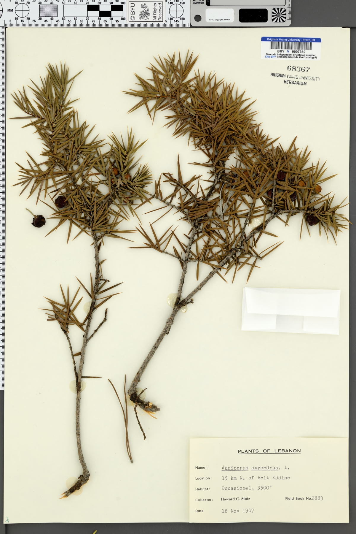 Juniperus oxycedrus image