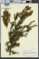 Juniperus rigida image