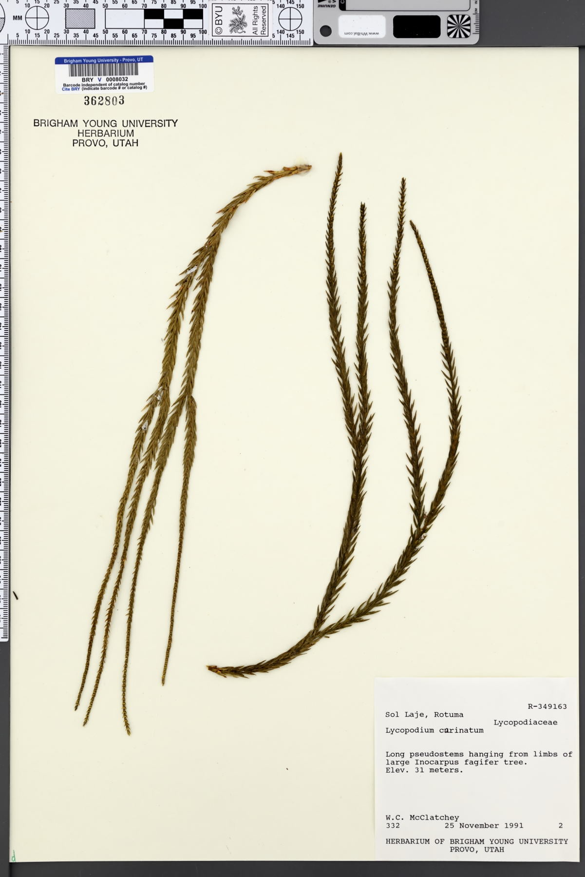 Huperzia carinata image