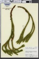Image of Lycopodium dichotomum
