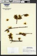 Chimonanthus praecox image