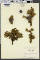 Juniperus drupacea image