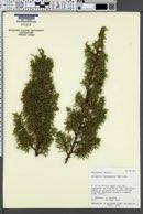 Juniperus durangensis image