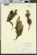 Image of Juniperus excelsa