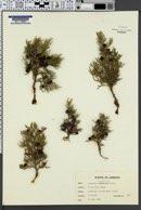 Image of Juniperus foetidissima