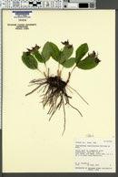 Cypripedium fasciculatum image