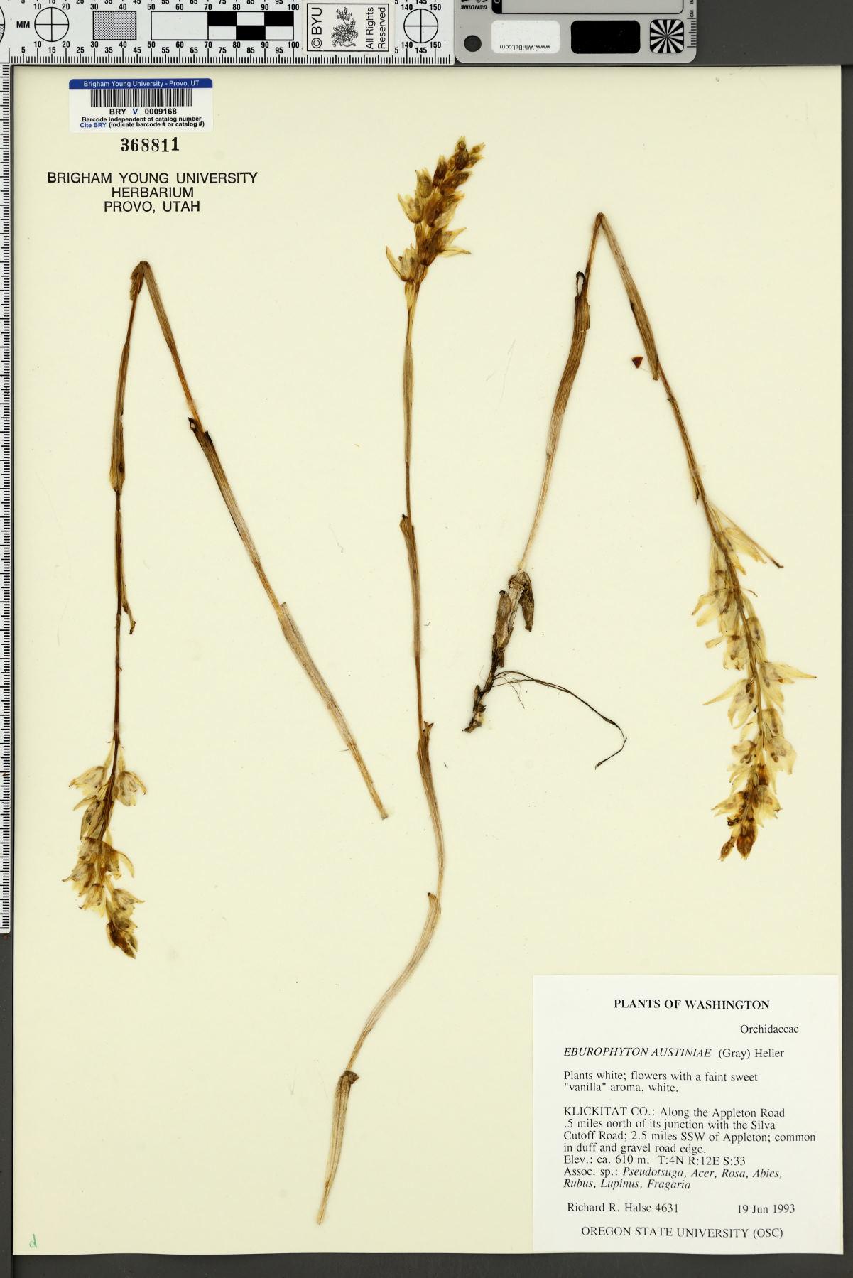 Eburophyton austiniae image