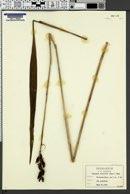 Image of Eulophia ecristata