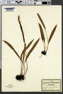 Acrostichum pilosum image