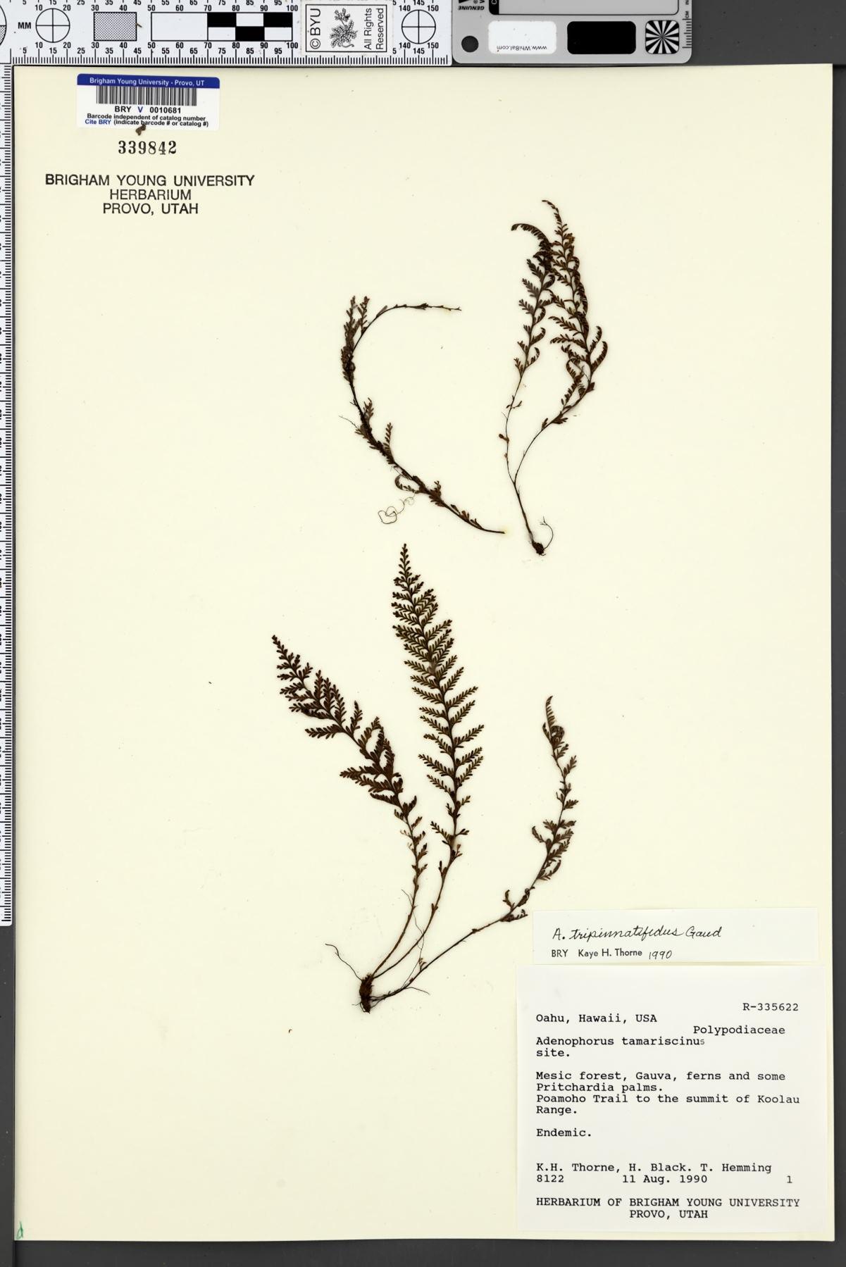 Adenophorus image